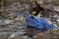 Żaba moczarowa (Rana arvalis)_1