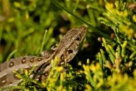 Jaszczurka zwinka (Lacerta agilis)_2