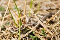Jaszczurka zwinka (Lacerta agilis)_5