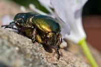 Kruszczyca złotawka (Cetonia aurata)_1