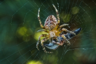 Krzyżak ogrodowy (Araneus diadematus)_3