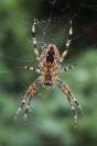 Krzyżak ogrodowy (Araneus diadematus)_5