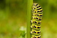 Paź królowej (Papilio machaon) gąsienica, larwa_2