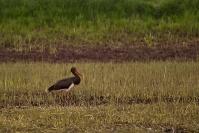 Bocian czarny (Ciconia nigra)_2