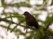 Drozd śpiewak (Turdus philomelos)_2