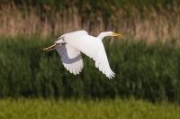 Czapla biała (Ardea alba)_17