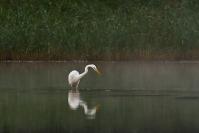 Czapla biała (Ardea alba)_19