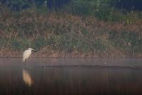 Czapla biała (Ardea alba)_3