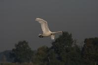 Czapla biała (Ardea alba)_4