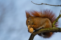 Wiewiórka ruda (Sciurus vulgaris)_1