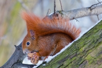 Wiewiórka ruda (Sciurus vulgaris)_2